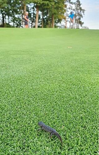 STORSALAMANDEREN: Dette bildet har Ballerud Golf Klubb sendt inn til Bærum kommune.